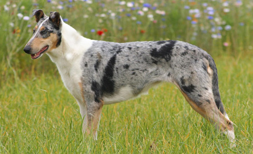 Collie smooth bleu merle